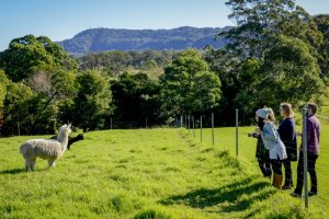People saying hello to the alpaca's at Silos Estate in Berry NSW.