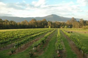 Photo of the vineyard with Cambewarra Mountain in the background at Cambewarra Estate